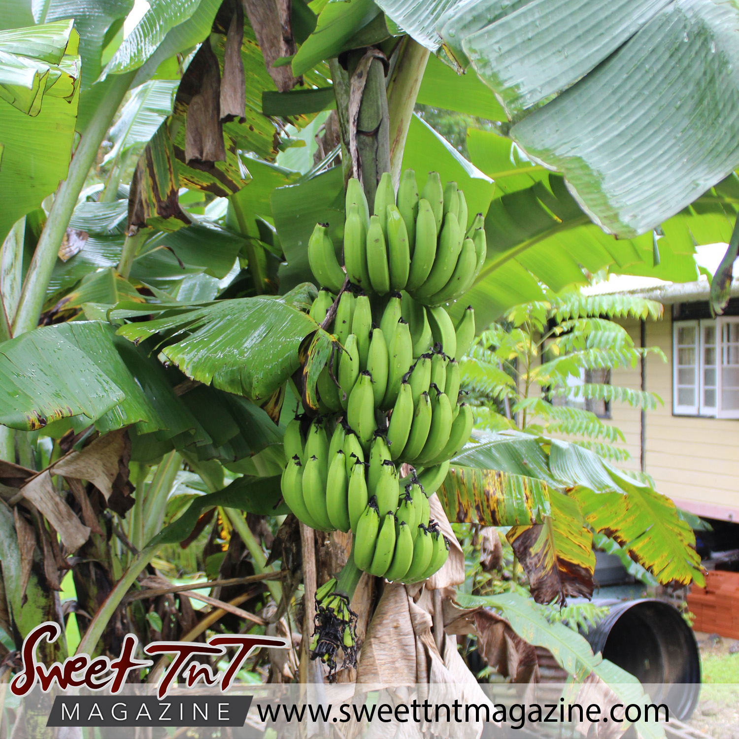 Green fig bunch in Manzanilla in sweet t&t for Sweet TnT Magazine in Trinidad and Tobago