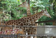 Daddy I want a giraffe poem by Marc Algernon at Emperor Valley Zoo, Melman and Mandela, in Sweet T&T, Sweet TnT Magazine, Trinidad and Tobago, rats poem link
