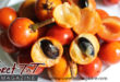 Balata a first for me, fruit, little cherry, brown outside, inside white soft juicy jet black pit not edible, plum by Marika Mohammed in Sweet T&T, Sweet TnT Magazine, Trinidad and Tobago, Trini, vacation, travel