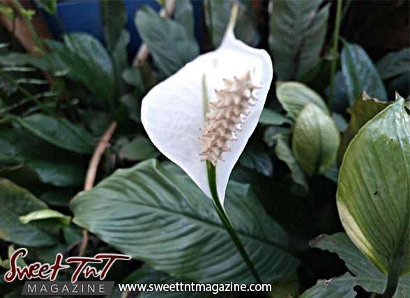 Peace Lily in sweet T&T for Sweet TnT Magazine, Culturama Publishing Company, for news in Trinidad, in Port of Spain, Trinidad and Tobago, with positive how to photography. Tag: Air