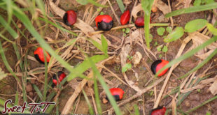 Folklore - jumbie beads or devil beads.