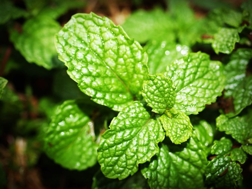 Keep insects away. Green mint photo
